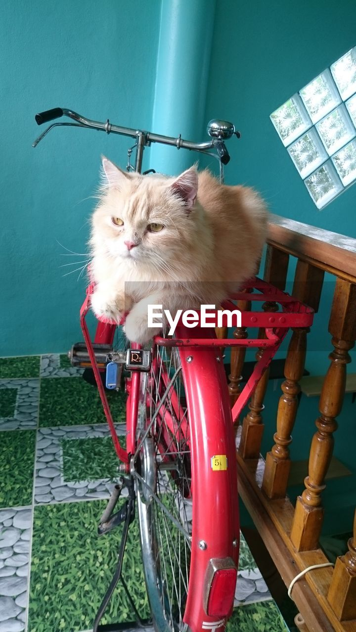 domestic animals, mammal, animal themes, domestic cat, pets, one animal, bicycle, feline, mode of transport, no people, transportation, wheel, sitting, day, indoors