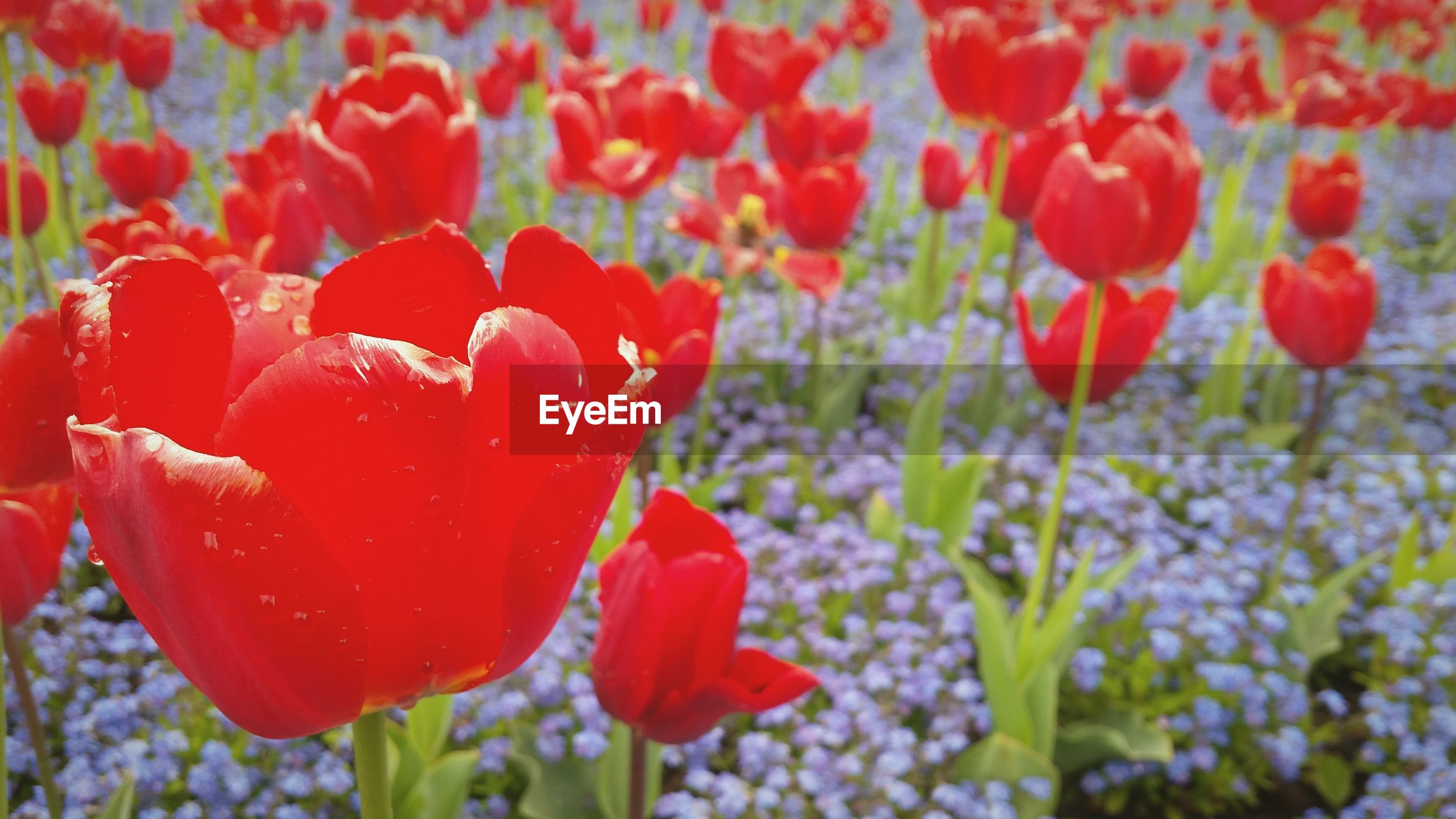 Close-up of red tulips blooming in field