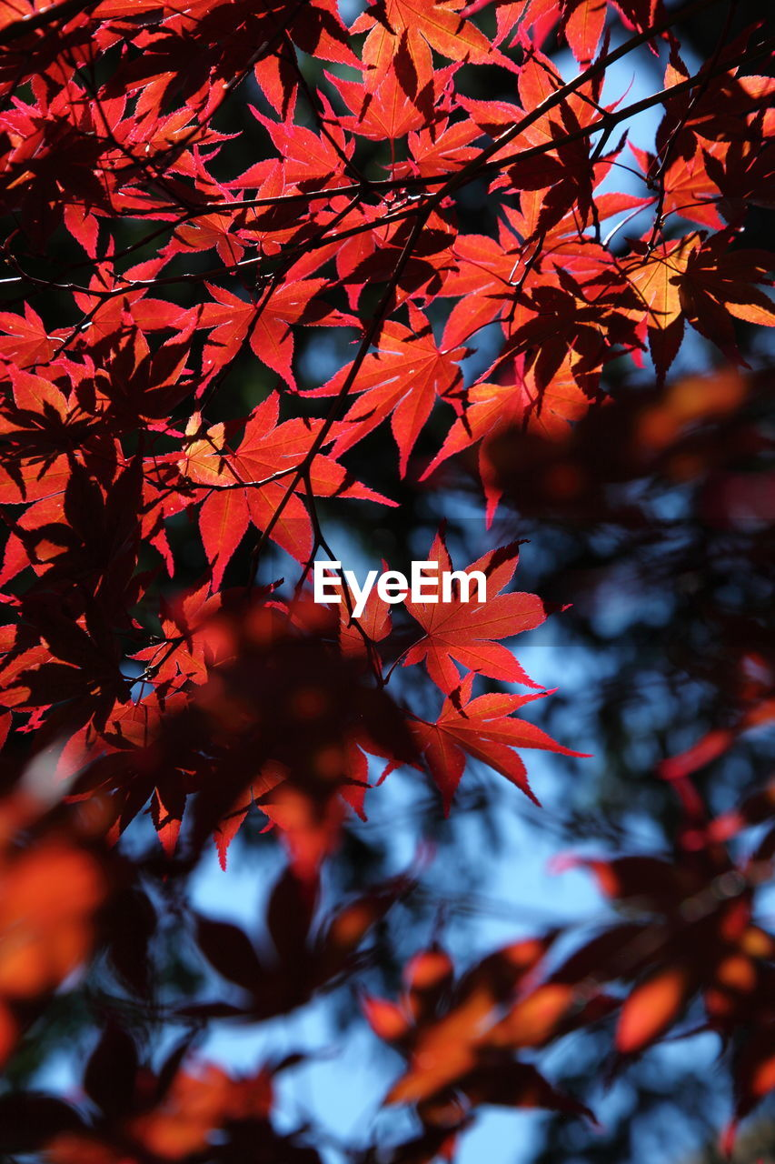 autumn, leaf, change, maple leaf, tree, maple tree, beauty in nature, orange color, nature, growth, day, outdoors, red, branch, no people, maple, low angle view, close-up