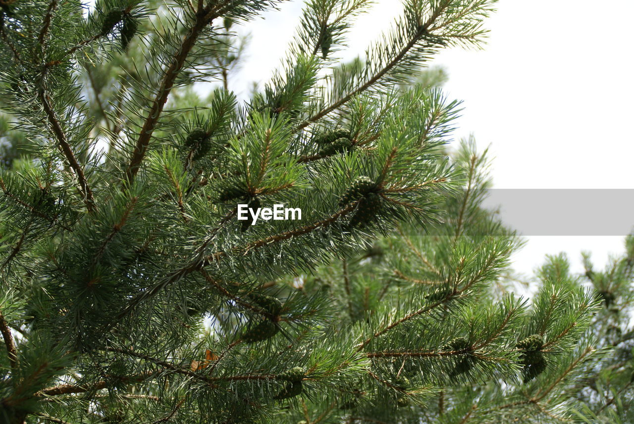 growth, nature, no people, beauty in nature, green color, tree, low angle view, close-up, day, needle - plant part, needle, tranquility, branch, outdoors, pine tree, plant, sky, freshness