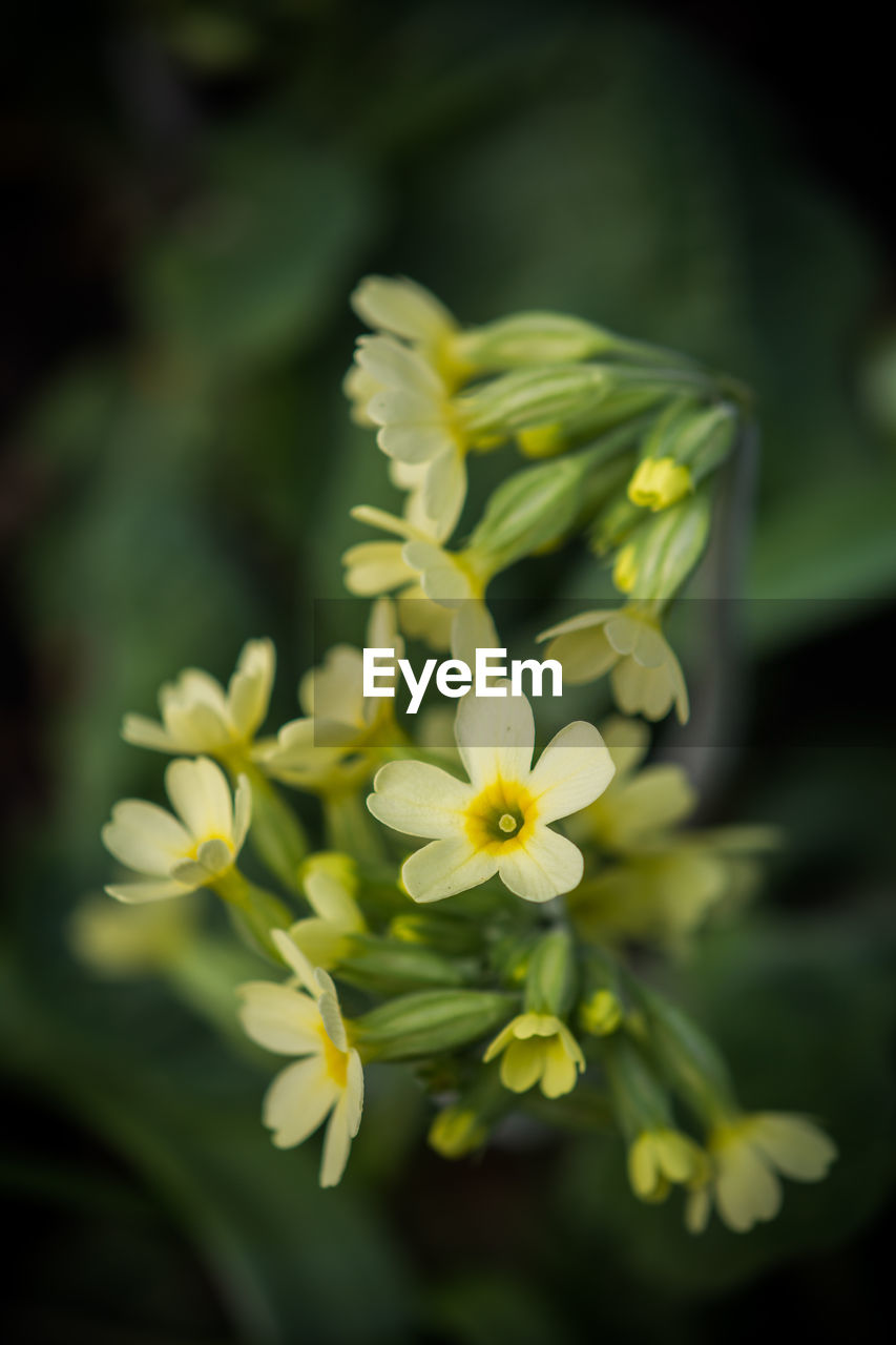 flowering plant, flower, fragility, vulnerability, freshness, plant, beauty in nature, petal, flower head, inflorescence, close-up, growth, selective focus, yellow, nature, no people, focus on foreground, white color, day, botany, outdoors