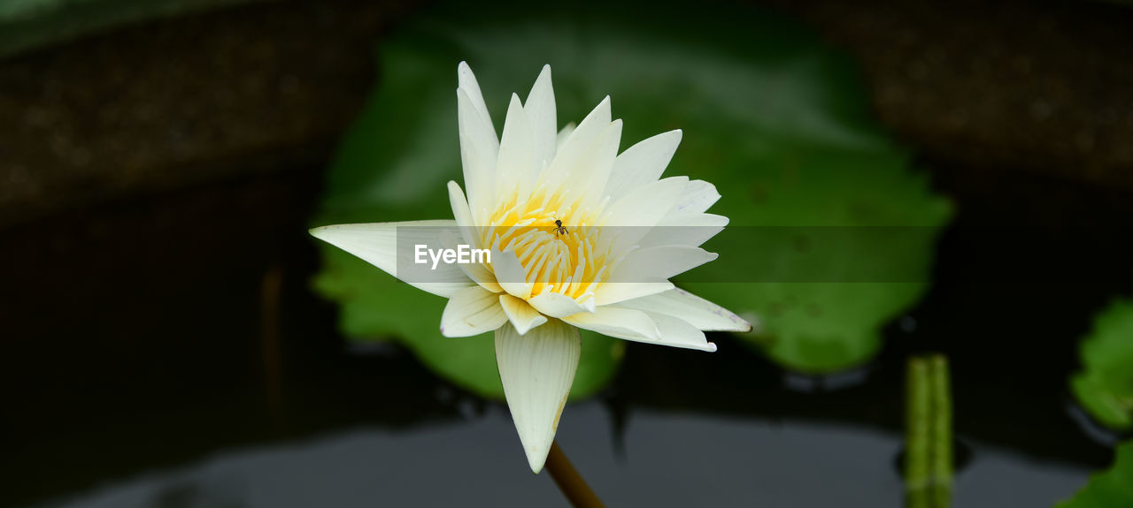 flowering plant, flower, petal, vulnerability, fragility, beauty in nature, freshness, plant, inflorescence, flower head, growth, close-up, water lily, nature, focus on foreground, pond, leaf, pollen, no people, floating on water, lotus water lily