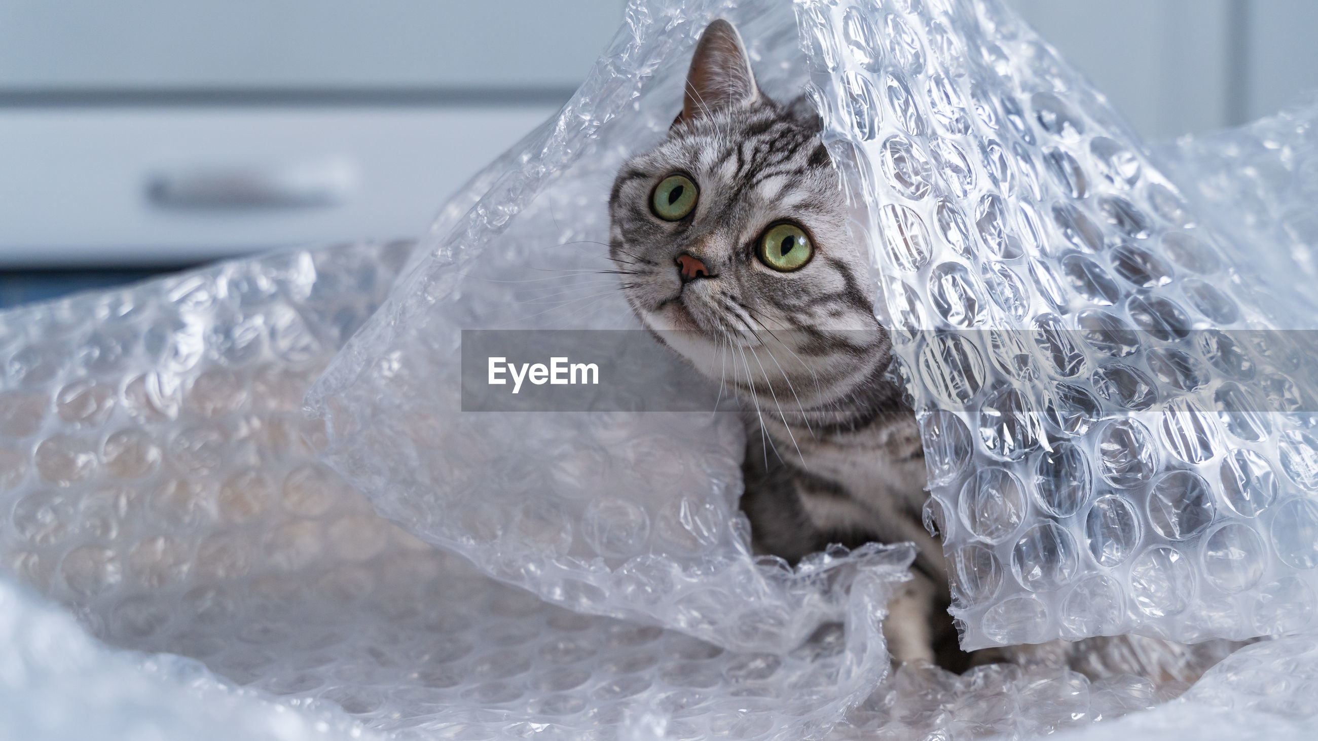 British shorthair silver tabby cat playing with bubble wrap