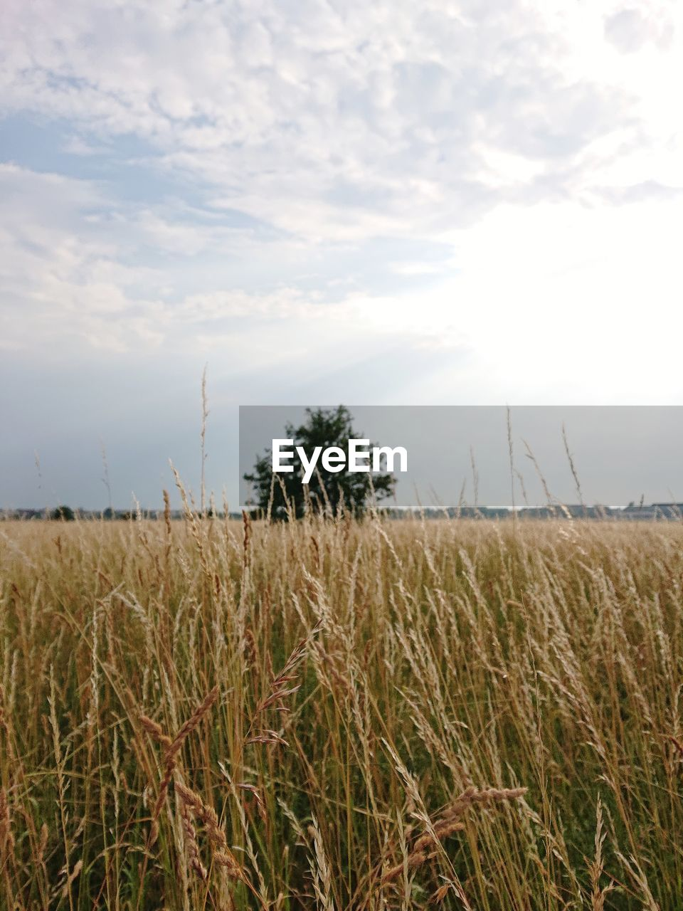 sky, plant, field, land, cloud - sky, growth, environment, landscape, tranquility, tranquil scene, beauty in nature, agriculture, scenics - nature, nature, rural scene, crop, farm, cereal plant, day, grass, no people, outdoors, plantation