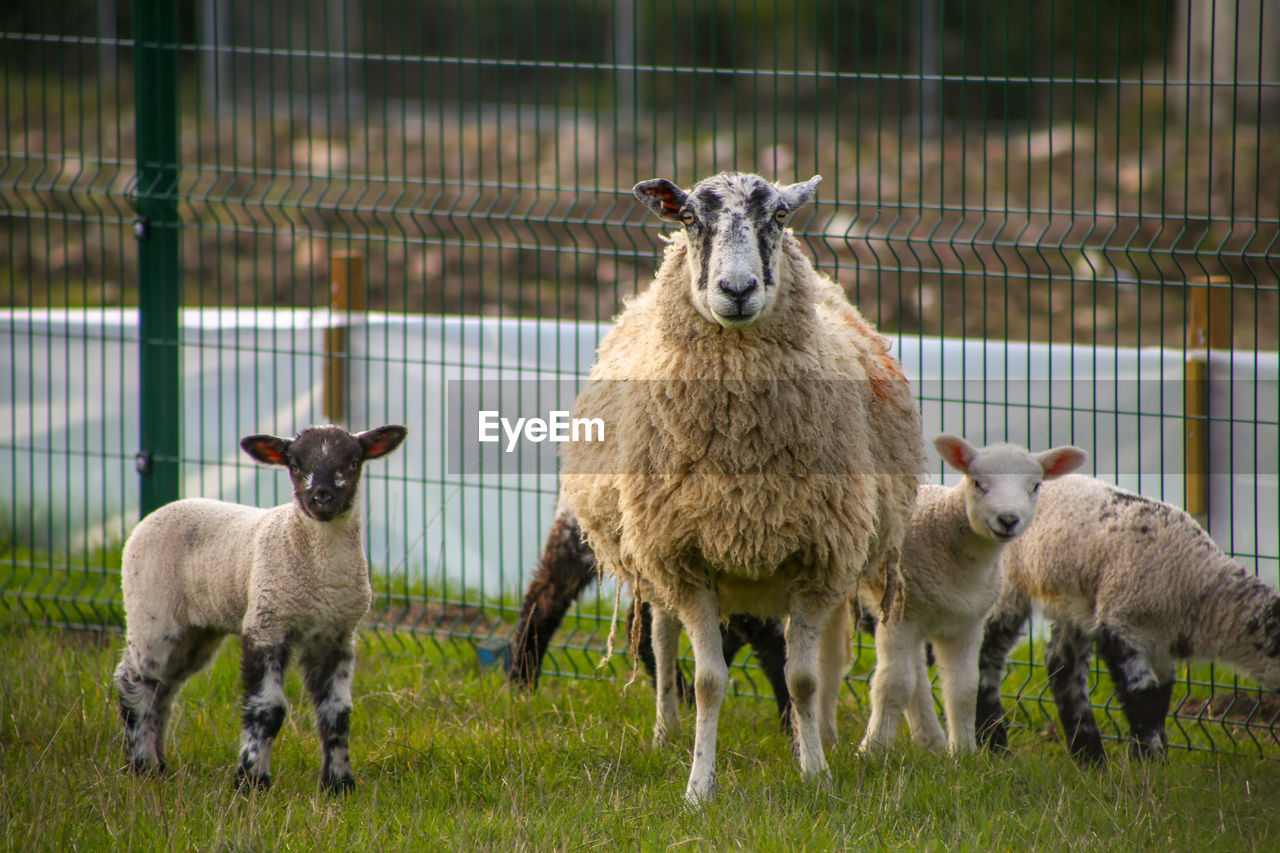 mammal, animal themes, group of animals, animal, vertebrate, livestock, grass, domestic animals, sheep, pets, fence, domestic, boundary, standing, barrier, nature, plant, field, land, focus on foreground, no people, lamb, herbivorous, outdoors, animal family