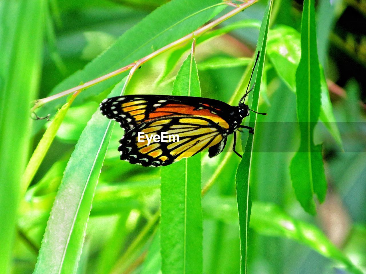 animal wildlife, animals in the wild, animal themes, insect, animal, invertebrate, one animal, green color, plant, close-up, beauty in nature, animal wing, plant part, growth, leaf, nature, butterfly - insect, day, focus on foreground, no people, butterfly, pollination, blade of grass