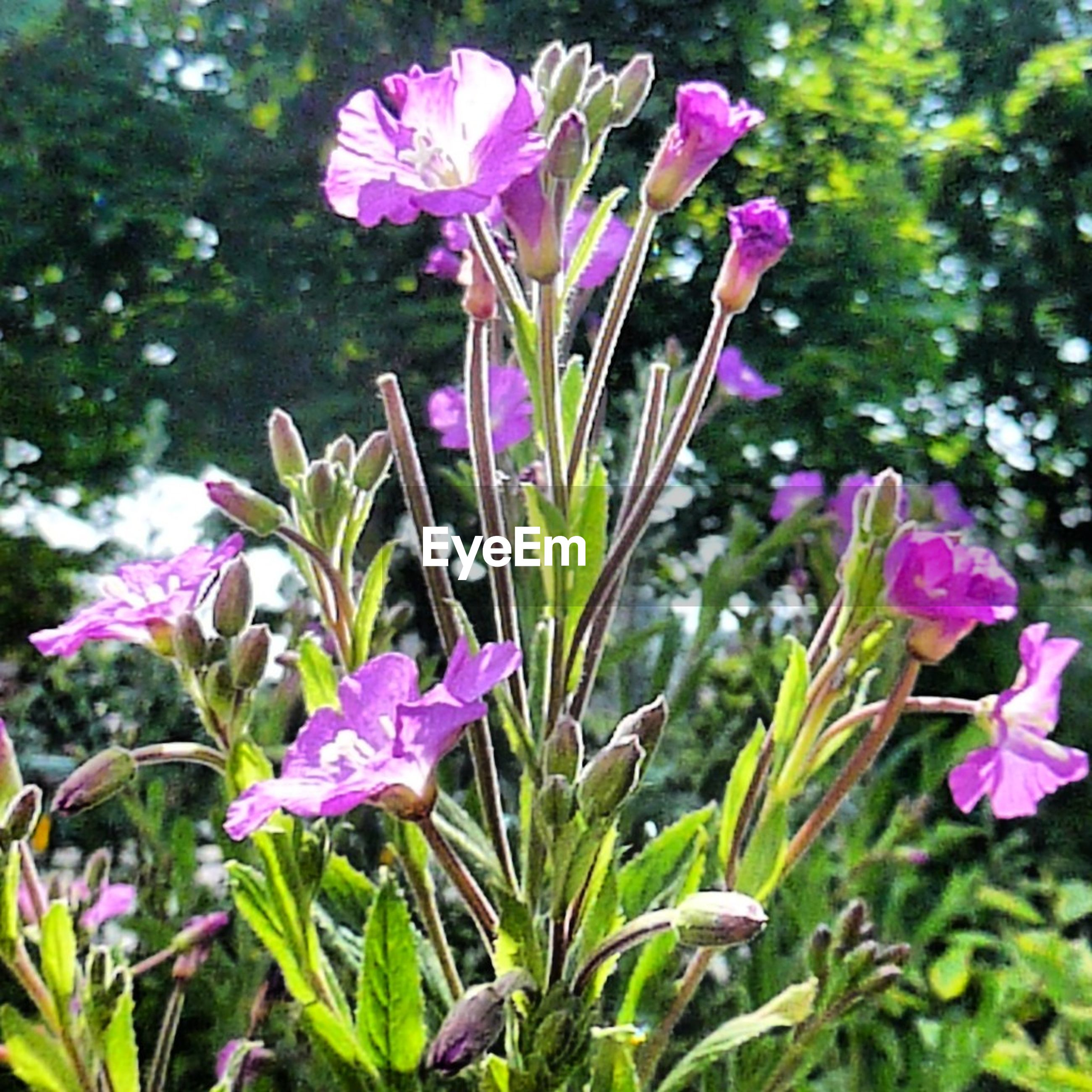 flower, freshness, fragility, growth, petal, beauty in nature, purple, flower head, plant, blooming, nature, pink color, focus on foreground, stem, close-up, in bloom, leaf, blossom, green color, springtime