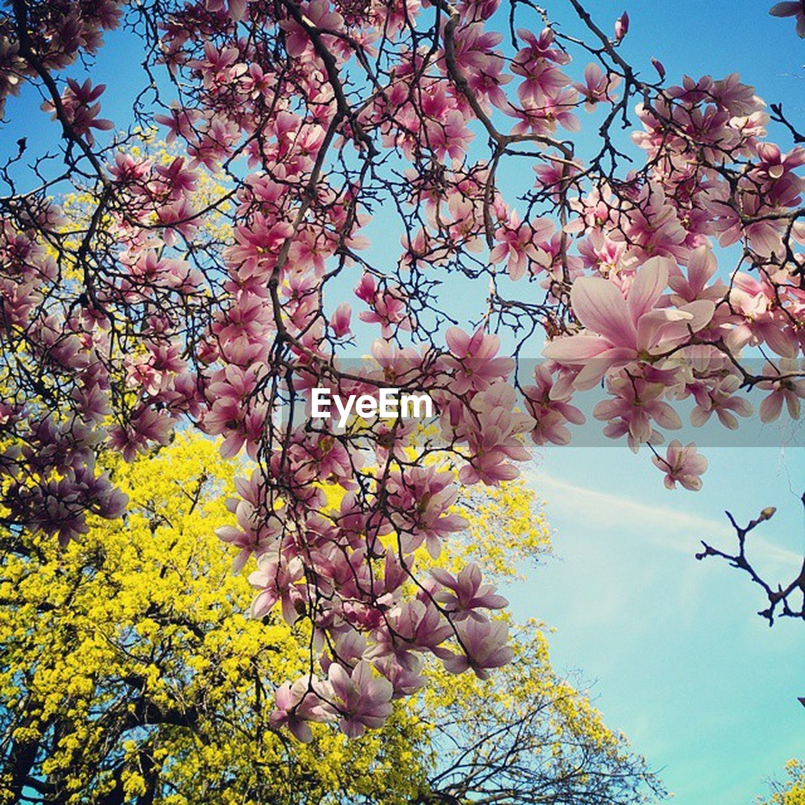 tree, branch, low angle view, flower, growth, freshness, blossom, beauty in nature, nature, clear sky, sky, fragility, cherry blossom, cherry tree, springtime, pink color, in bloom, sunlight, blooming, fruit tree