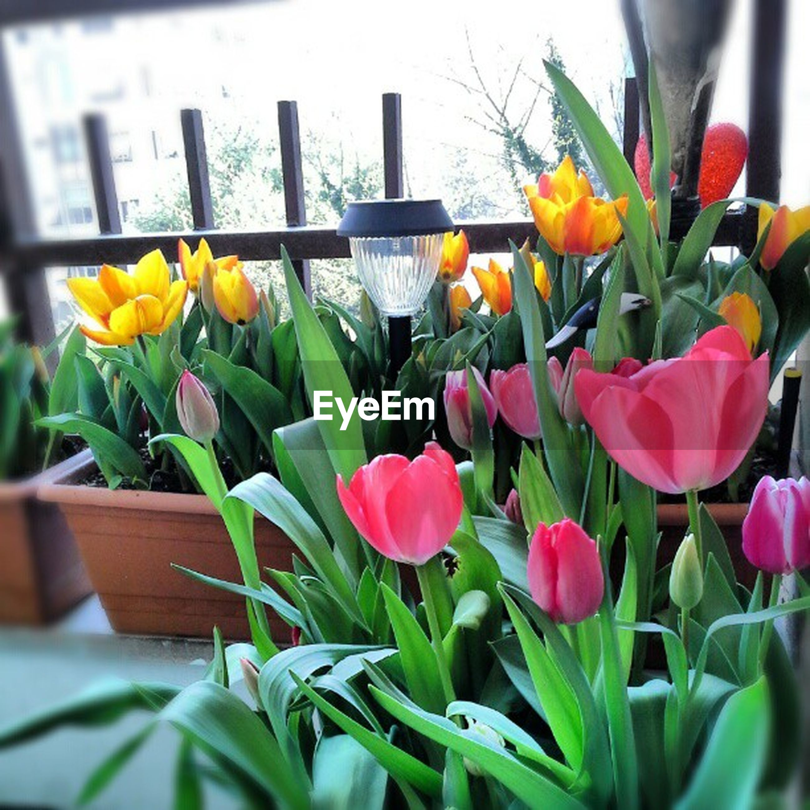 flower, freshness, fragility, petal, growth, plant, leaf, tulip, flower head, beauty in nature, nature, blooming, yellow, stem, day, potted plant, abundance, multi colored, outdoors, in bloom