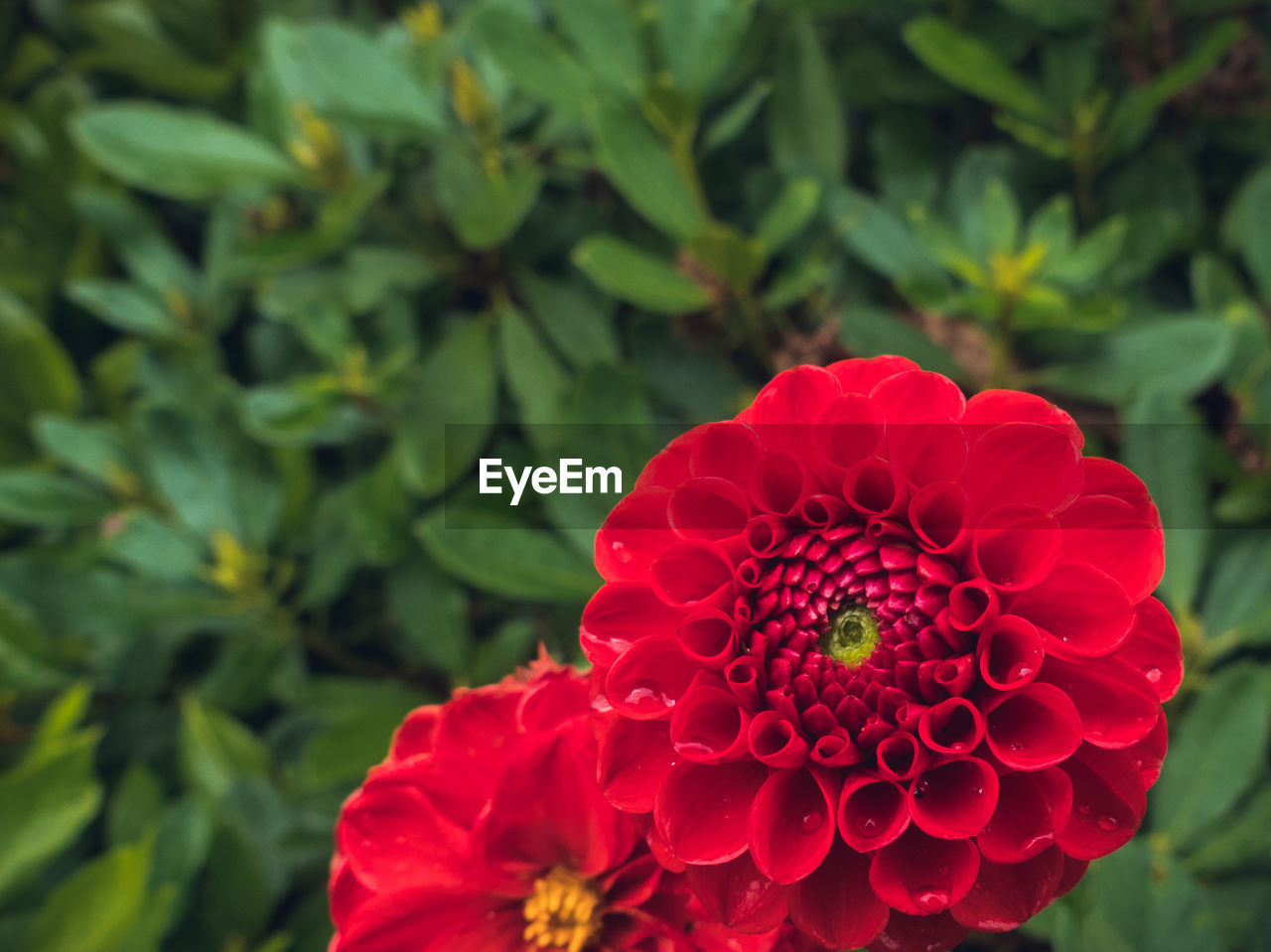 flower, petal, red, beauty in nature, flower head, nature, fragility, growth, freshness, zinnia, blooming, plant, day, green color, outdoors, focus on foreground, close-up, no people, leaf