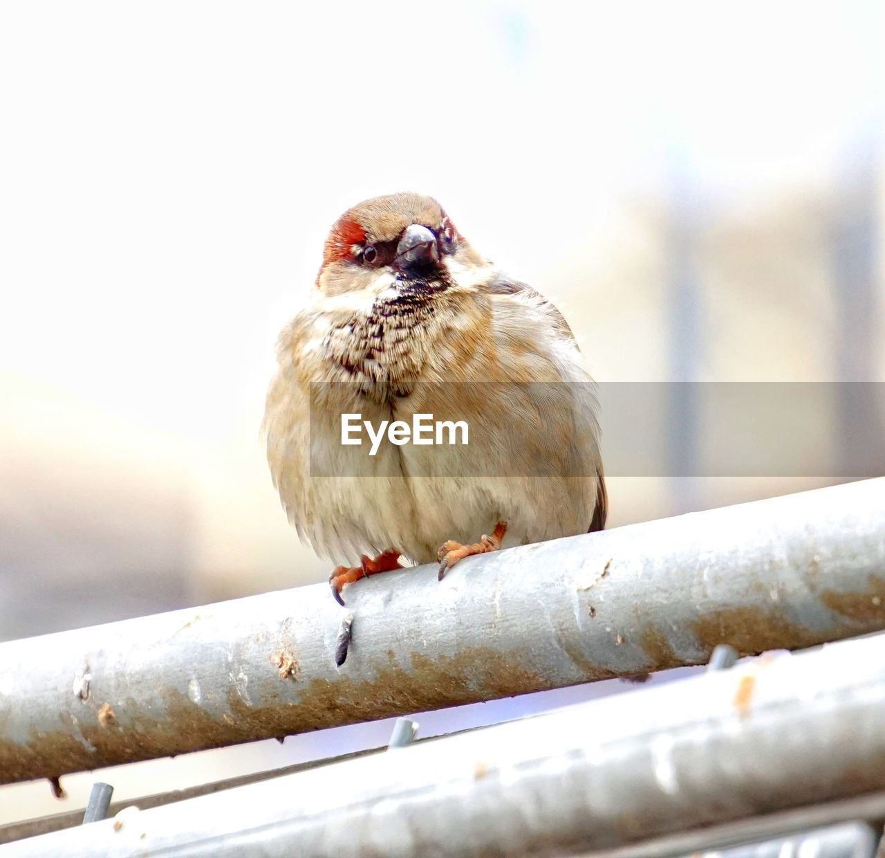 bird, animal themes, animals in the wild, one animal, focus on foreground, perching, day, animal wildlife, no people, close-up, outdoors, winter, sparrow, nature