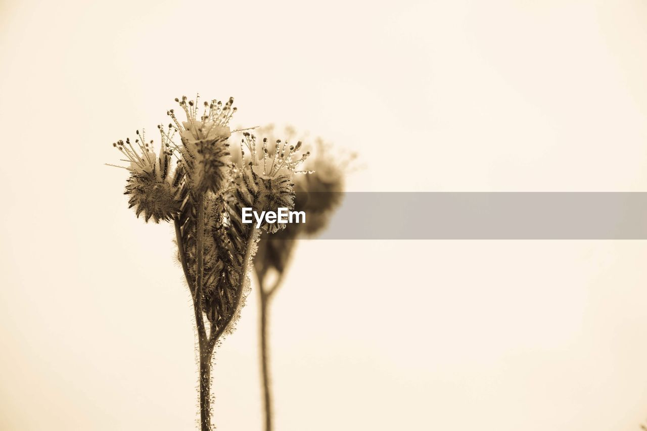 plant, flower, beauty in nature, copy space, no people, close-up, growth, fragility, flowering plant, nature, vulnerability, freshness, sky, studio shot, plant stem, flower head, outdoors, tranquility, inflorescence, focus on foreground, sepal