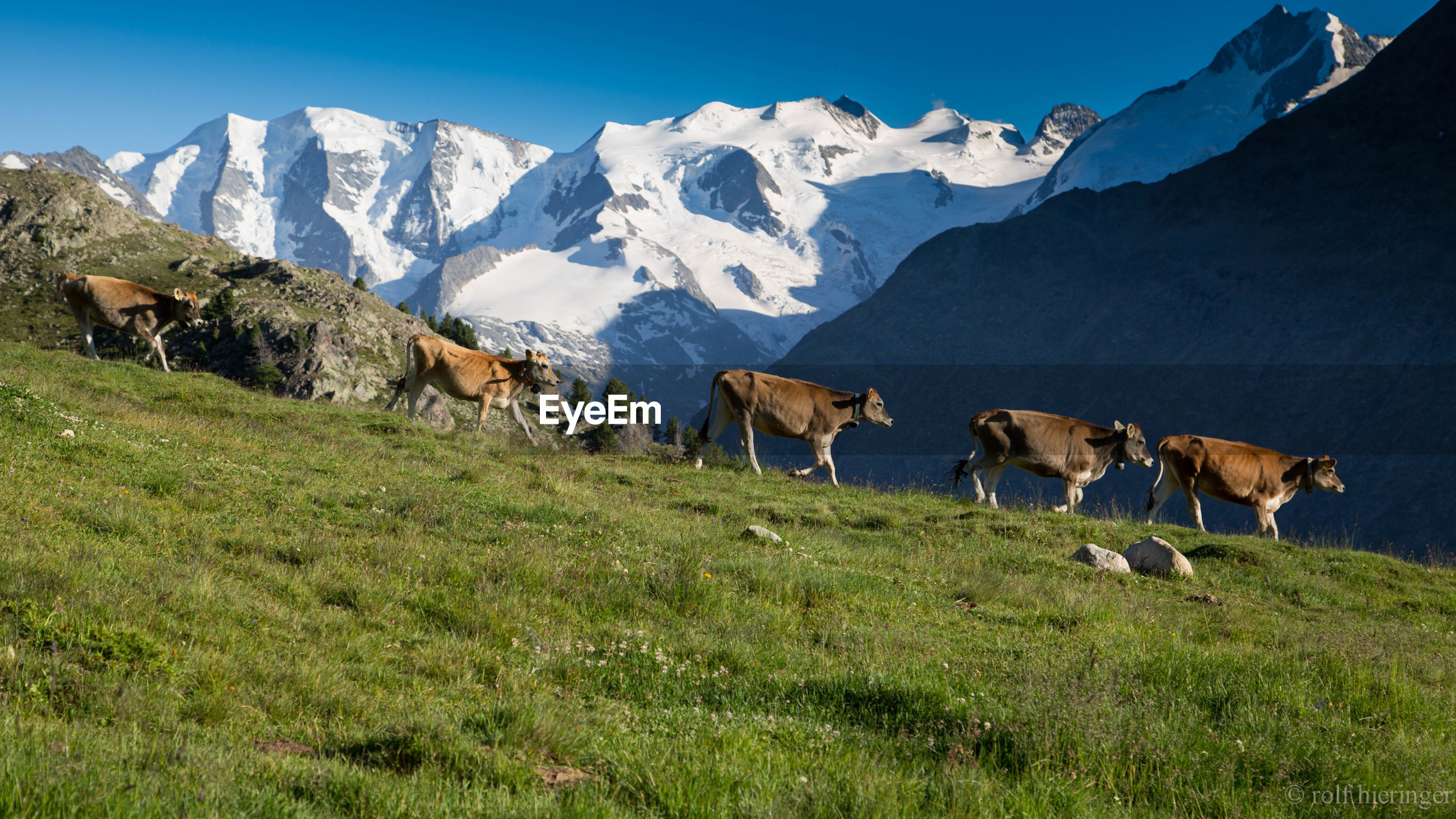 Cows walking on hill against snowcapped mountain