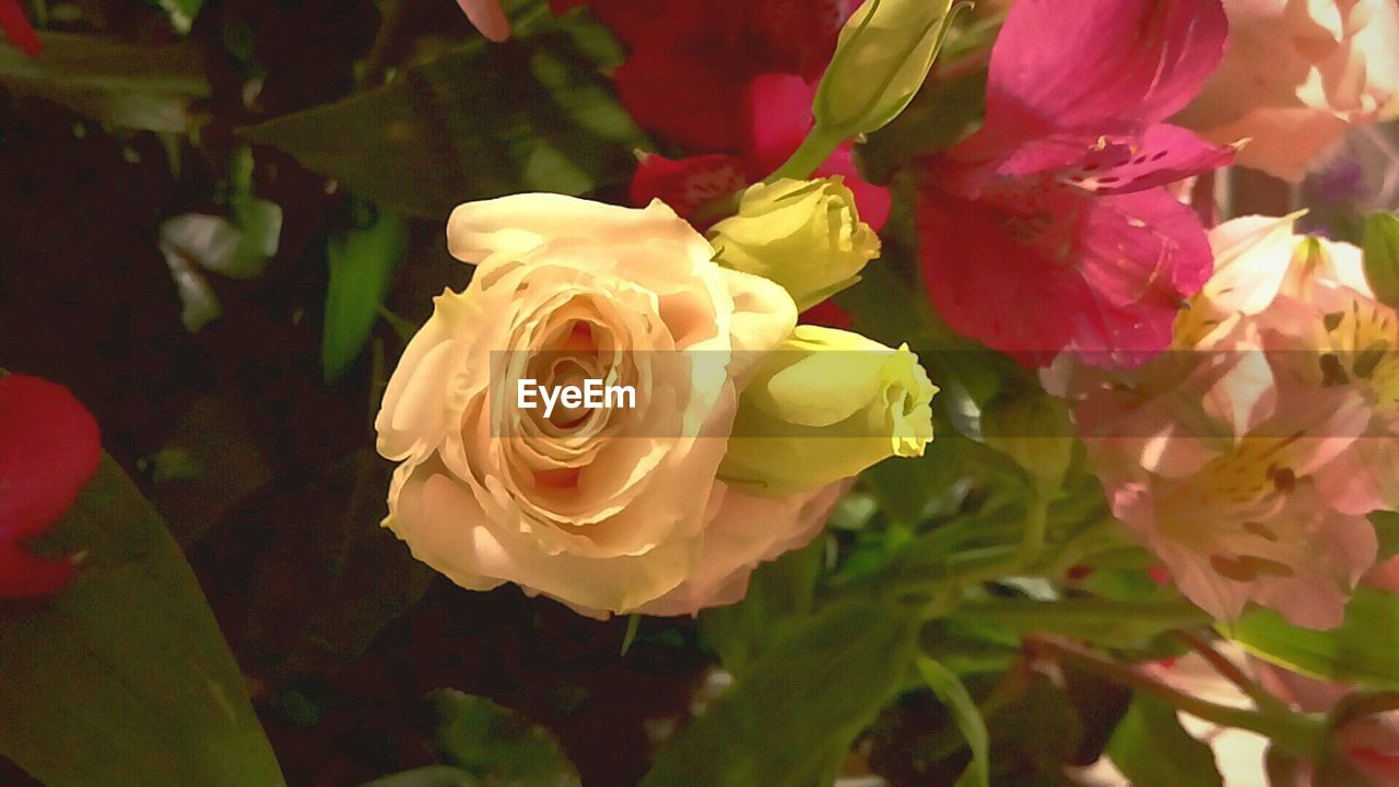 flower, petal, fragility, flower head, beauty in nature, rose - flower, nature, growth, freshness, plant, no people, blooming, close-up, outdoors, day, springtime