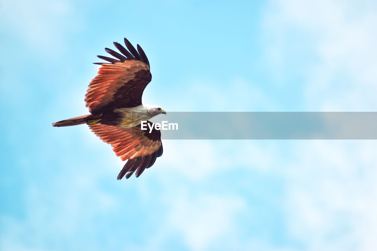 animals in the wild, bird, animal themes, animal wildlife, vertebrate, animal, flying, spread wings, one animal, low angle view, sky, no people, mid-air, cloud - sky, day, motion, nature, blue, beauty in nature, outdoors