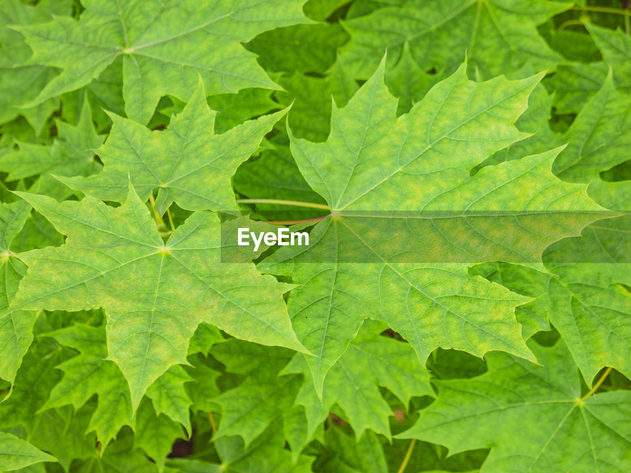 plant part, leaf, green color, plant, backgrounds, nature, close-up, growth, no people, full frame, day, beauty in nature, leaf vein, outdoors, leaves, freshness, high angle view, botany, vulnerability, fragility
