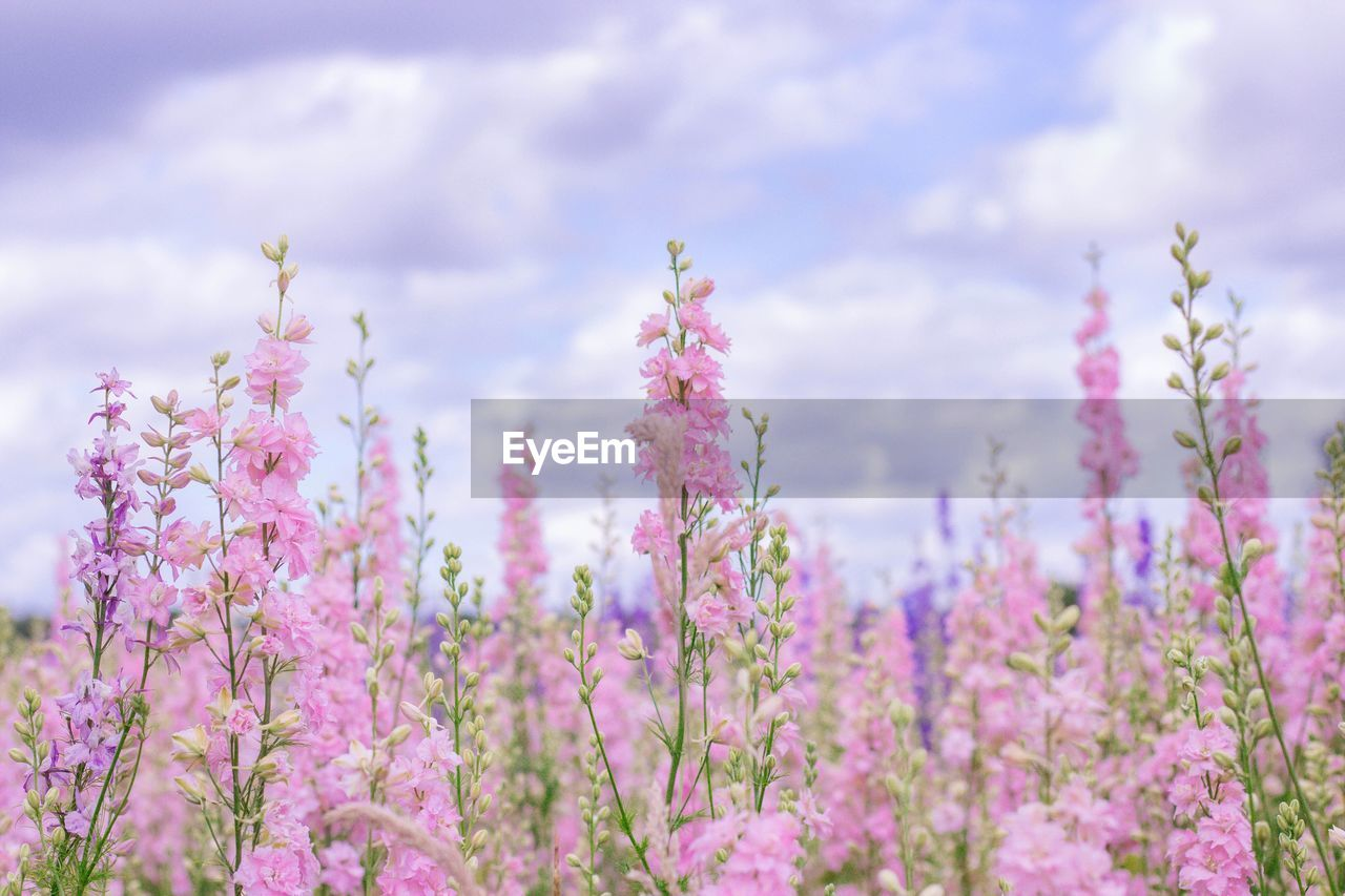 flower, flowering plant, plant, beauty in nature, freshness, fragility, pink color, growth, vulnerability, nature, no people, day, close-up, cloud - sky, selective focus, sky, land, outdoors, tree, petal, purple, flower head