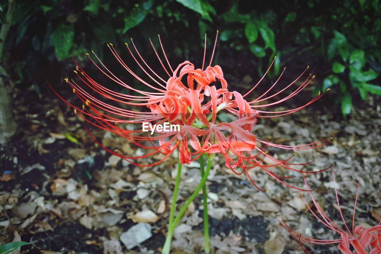 growth, nature, plant, no people, fragility, beauty in nature, close-up, flower, day, outdoors, red, flower head, freshness, undersea