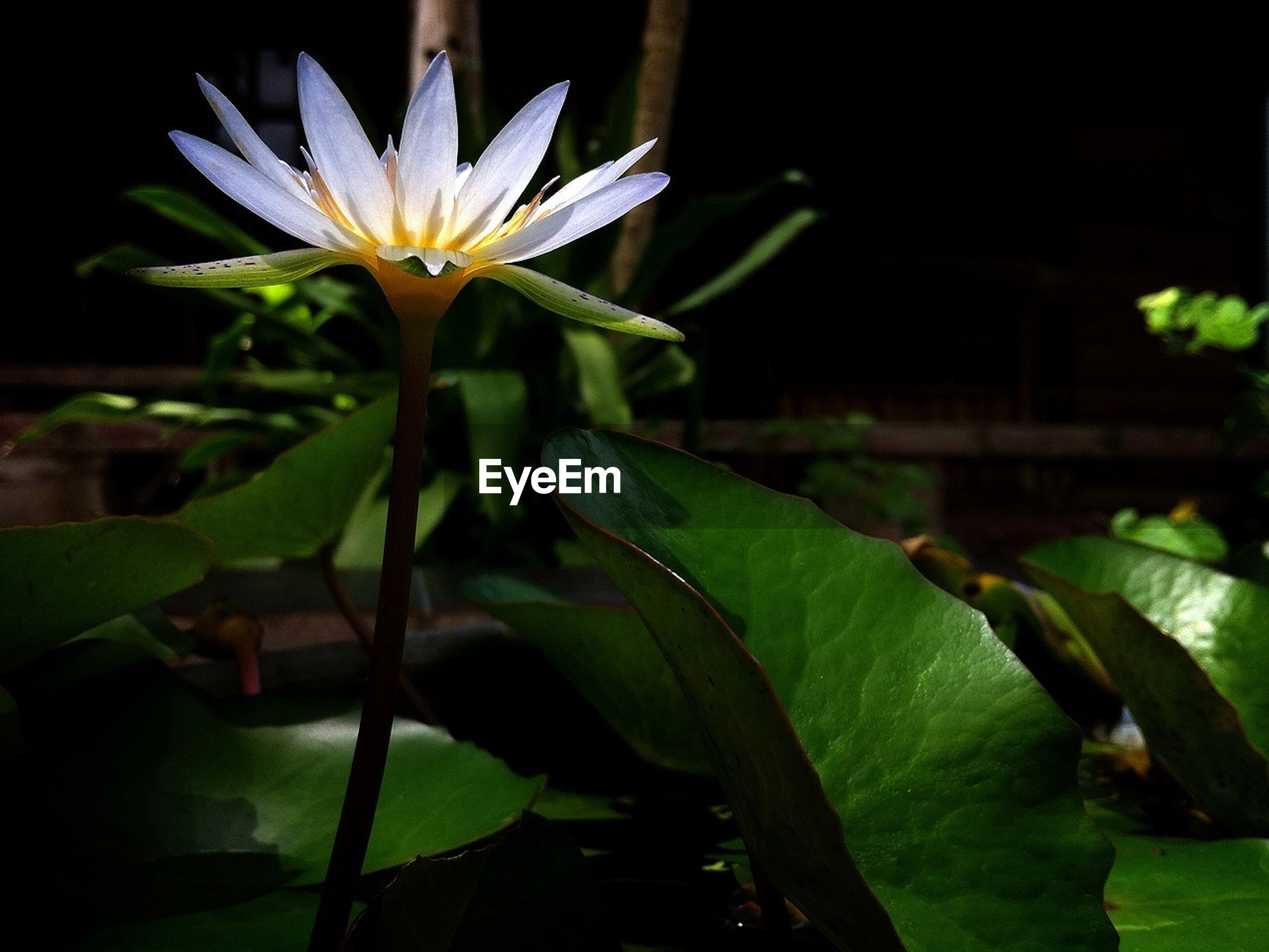 flower, leaf, petal, growth, freshness, fragility, plant, beauty in nature, flower head, water lily, nature, blooming, green color, pond, close-up, single flower, stem, in bloom, lotus water lily, botany