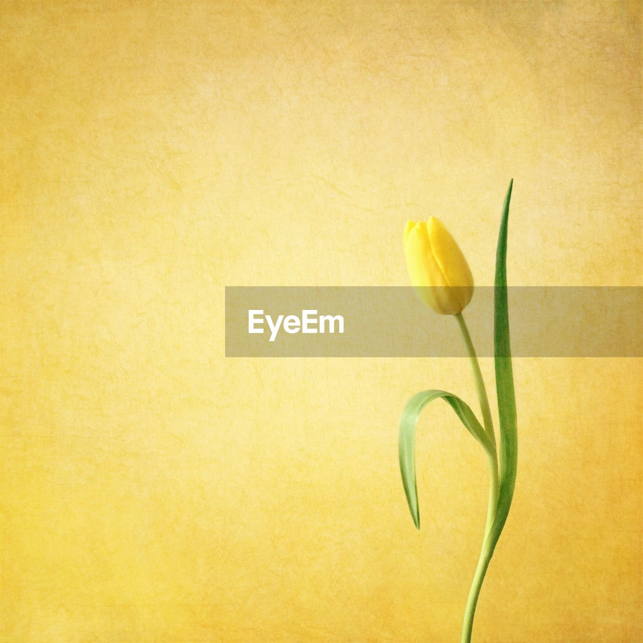 Tulip against yellow background