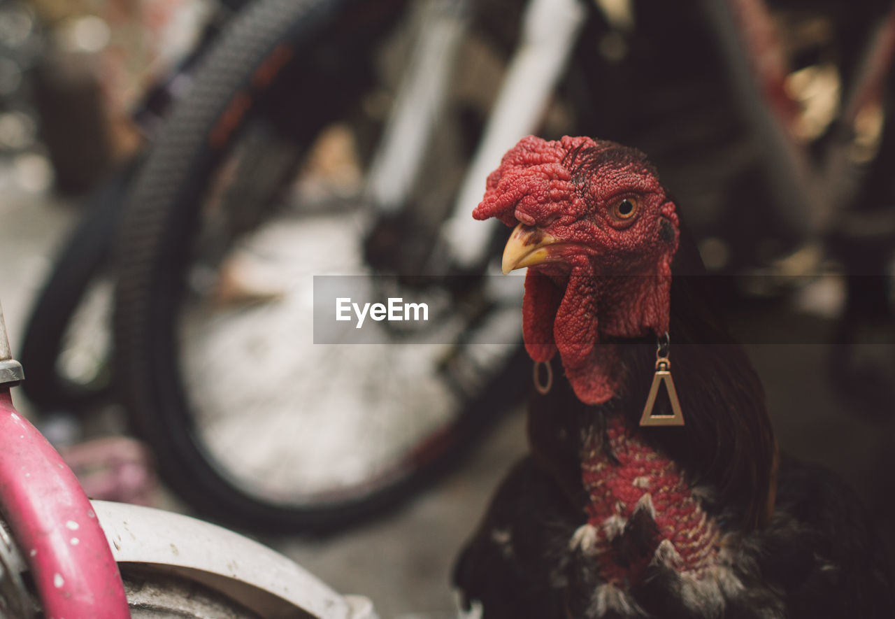Close-Up Of Rooster By Bicycle