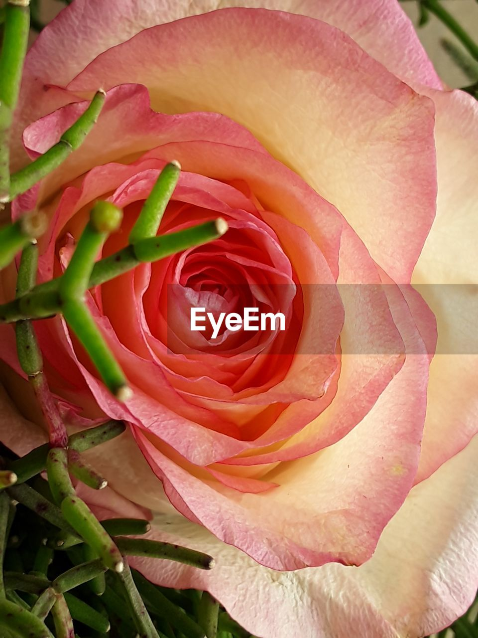 flower, nature, petal, growth, rose - flower, flower head, fragility, beauty in nature, freshness, close-up, plant, pink color, no people, outdoors, pattern, full frame, backgrounds, day, blooming