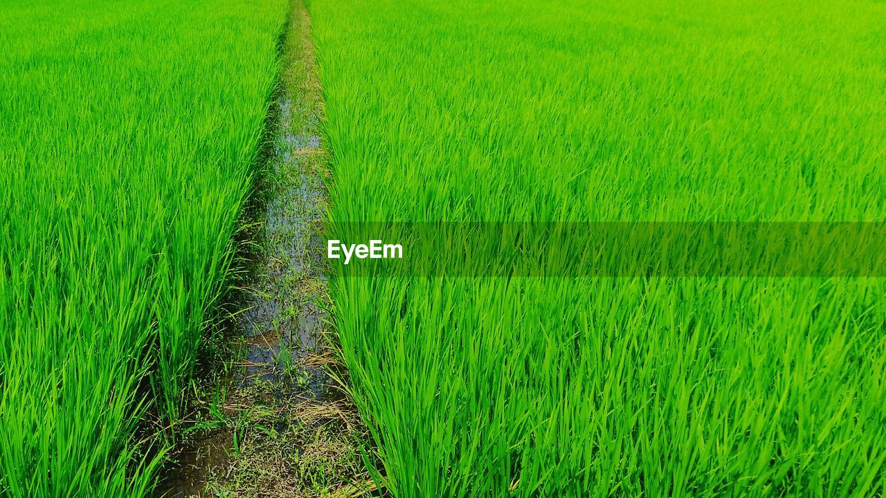 agriculture, growth, farm, field, green color, crop, rural scene, nature, cultivated land, grass, cereal plant, rice paddy, landscape, beauty in nature, tranquility, rice - cereal plant, tranquil scene, no people, day, outdoors, scenics, ear of wheat, plant, wheat, freshness