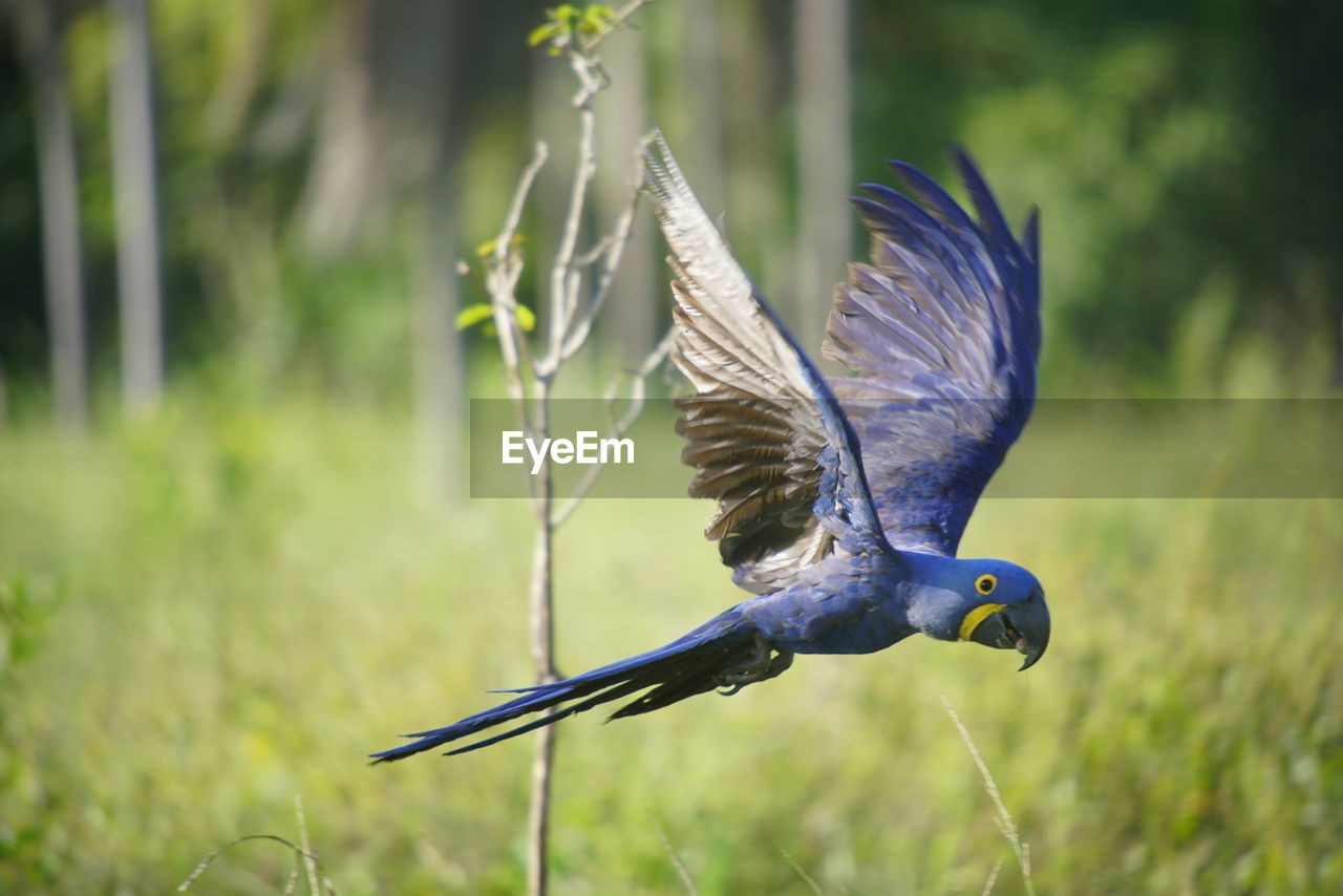 bird, one animal, animals in the wild, animal themes, spread wings, focus on foreground, flying, animal wildlife, nature, no people, day, mid-air, outdoors, beauty in nature, blue, beak, close-up, grass