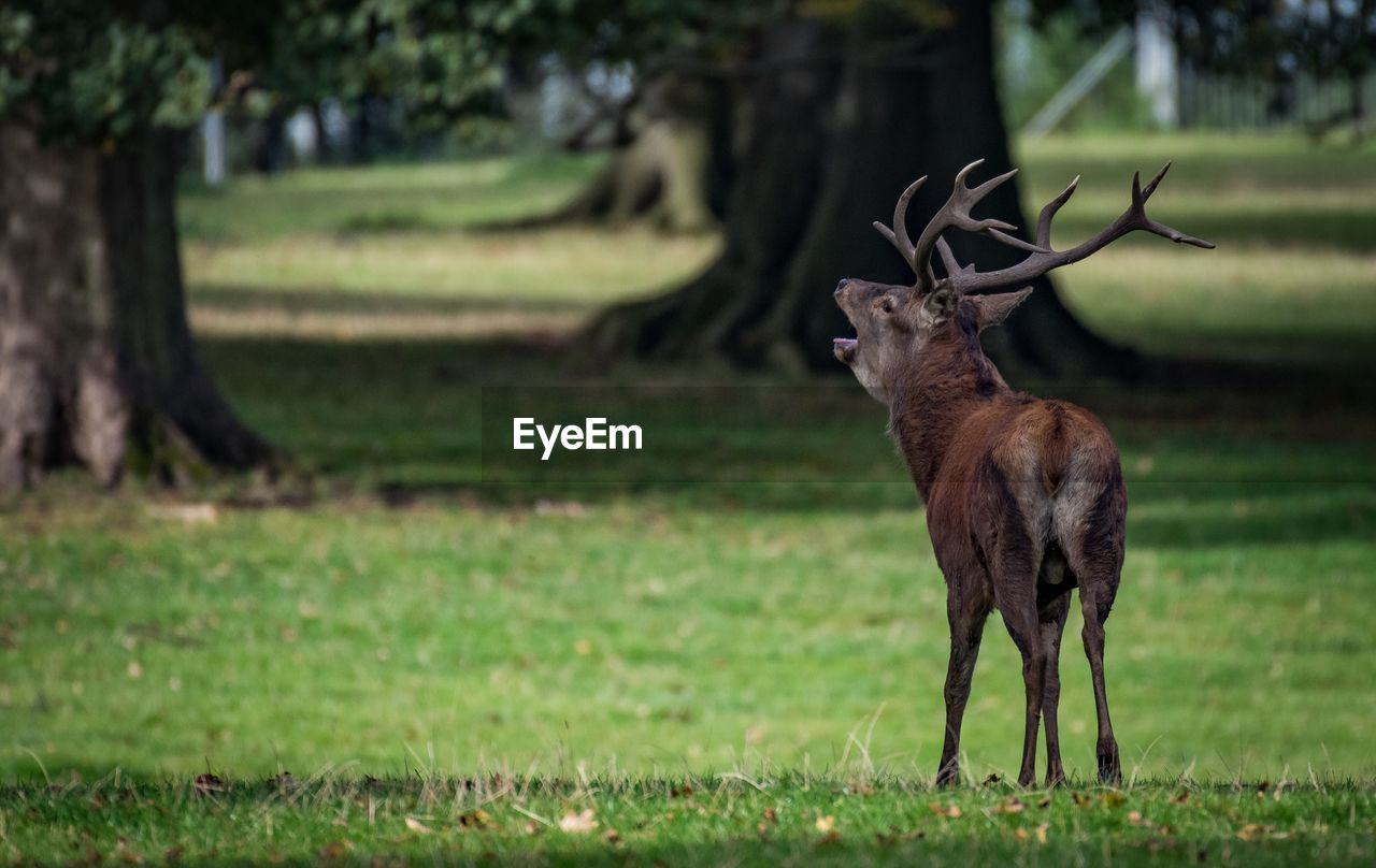 animal themes, plant, animal, animals in the wild, mammal, deer, field, animal wildlife, grass, land, vertebrate, antler, tree, one animal, nature, day, green color, standing, no people, outdoors, herbivorous