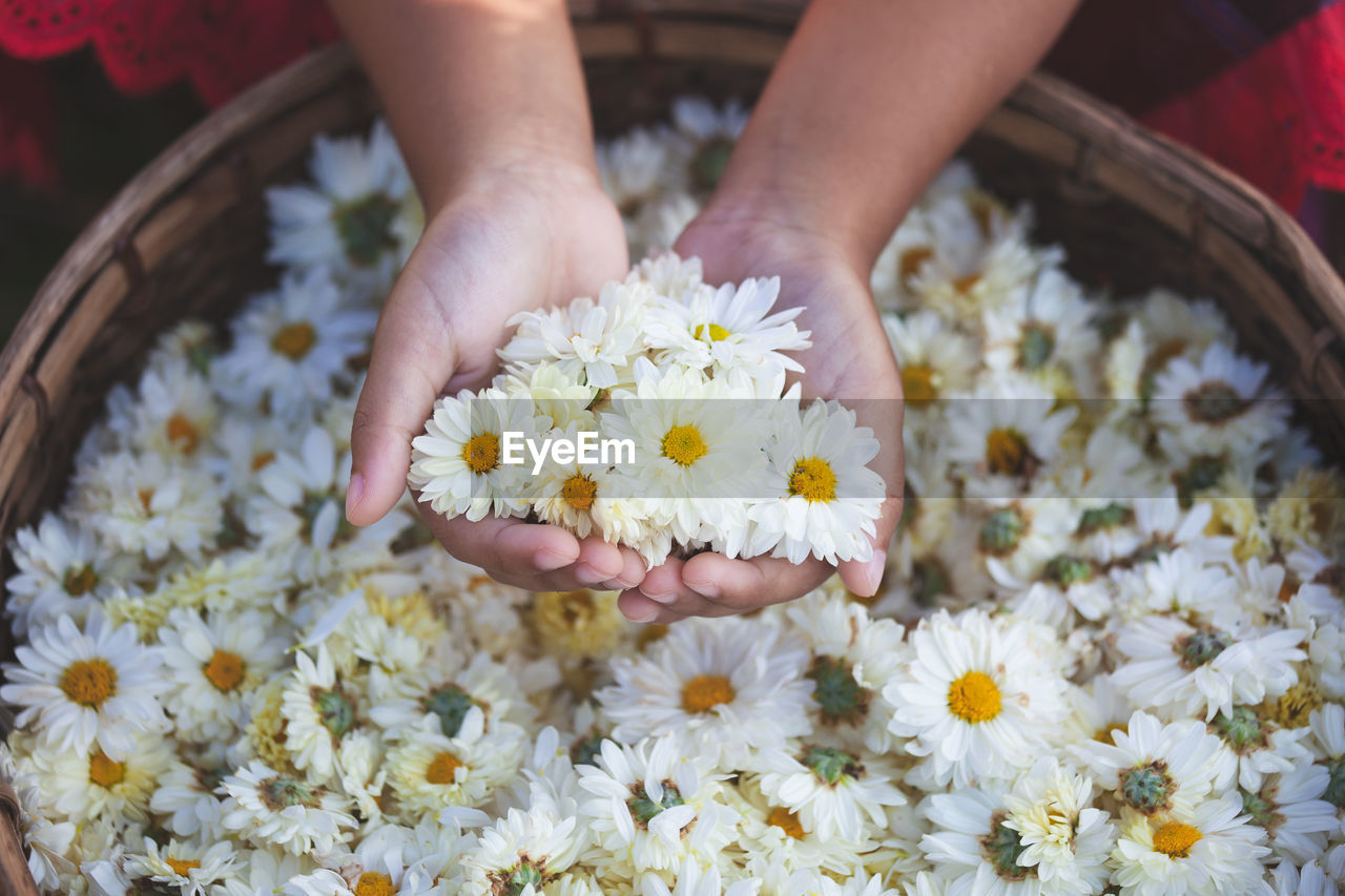 Cropped hands holding white daisies in wicker basket