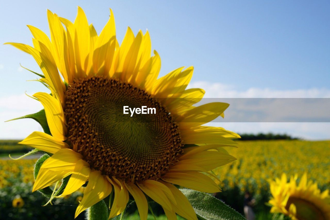 flower, yellow, petal, fragility, nature, sunflower, beauty in nature, growth, flower head, plant, field, freshness, outdoors, pollen, day, close-up, blooming, no people, sky