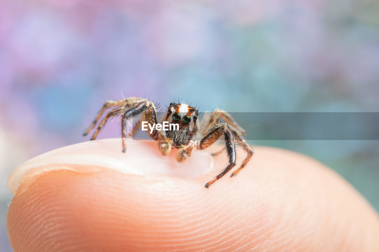 Close-Up Of Tiny Jumping Spider On Human Finger