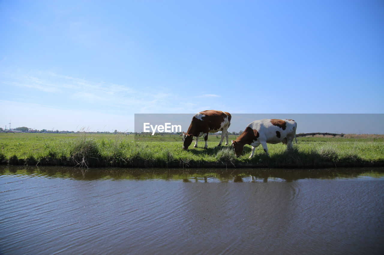 Cows Grazing On Grassy Field By River Against Sky