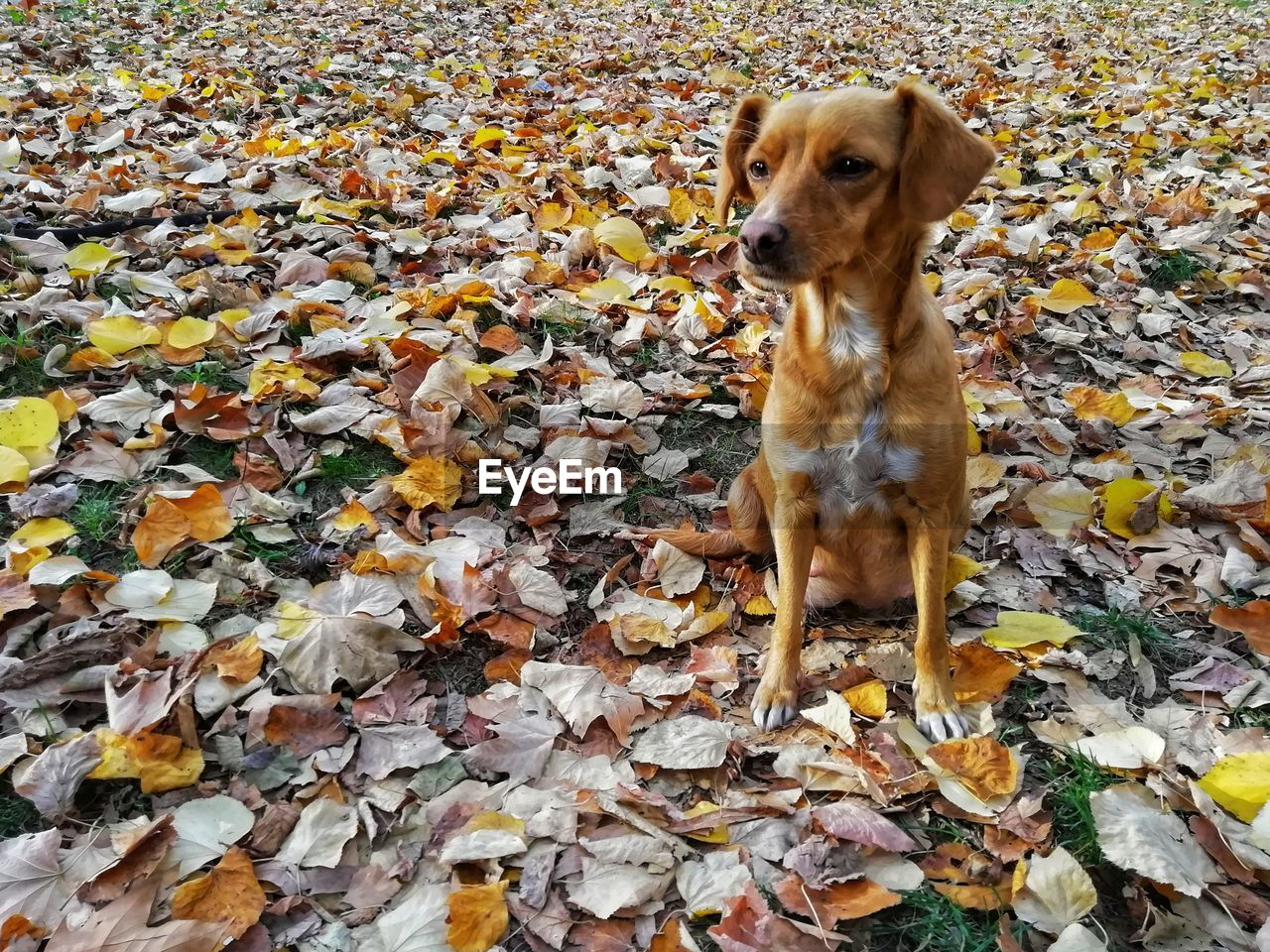 plant part, leaf, one animal, autumn, canine, mammal, animal themes, dog, animal, change, pets, leaves, domestic, domestic animals, nature, field, dry, day, no people, vertebrate, outdoors