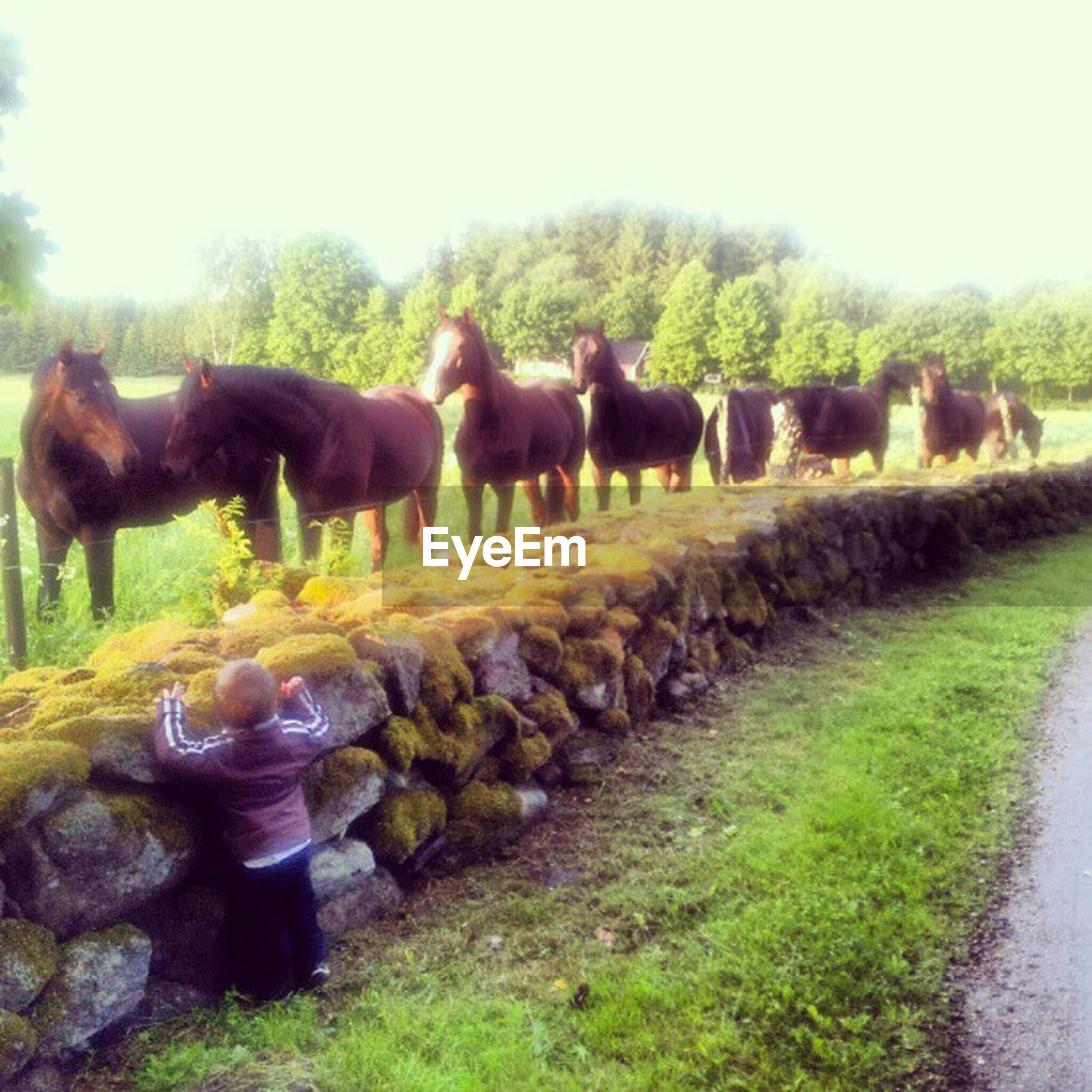 domestic animals, animal themes, mammal, livestock, grass, field, horse, two animals, cow, herbivorous, three animals, clear sky, standing, grazing, full length, pets, nature, grassy, day, green color