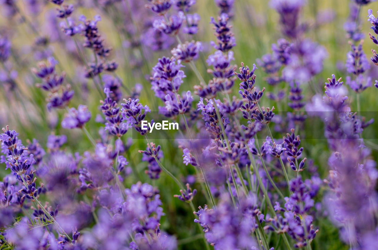 flowering plant, flower, purple, plant, vulnerability, fragility, beauty in nature, lavender, growth, freshness, close-up, selective focus, petal, lavender colored, nature, day, field, invertebrate, no people, animal themes, flower head, pollination