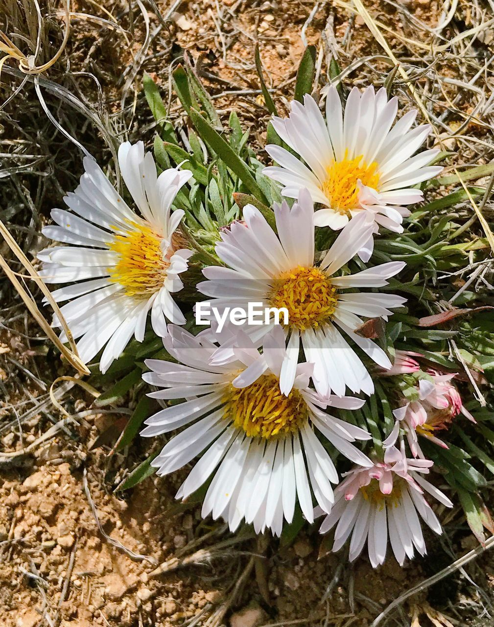 flower, flowering plant, plant, fragility, vulnerability, petal, freshness, beauty in nature, growth, white color, close-up, flower head, inflorescence, nature, day, pollen, high angle view, no people, land, daisy, outdoors, spring
