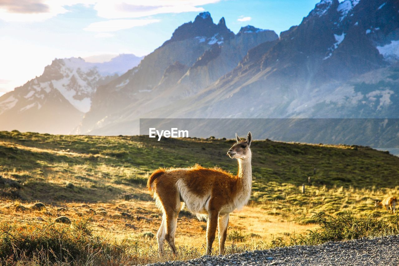 Guanaco standing on field against mountain