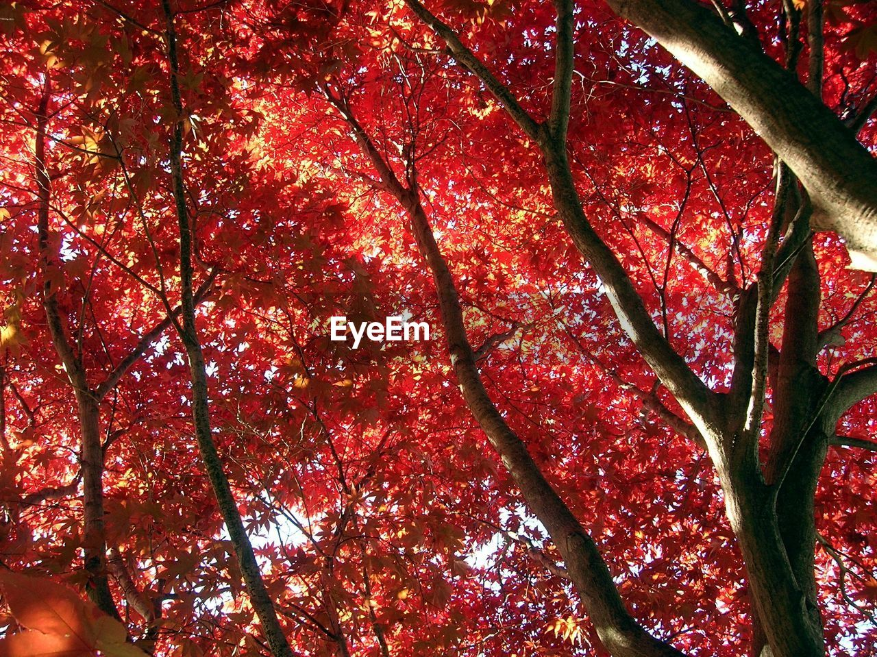 autumn, tree, low angle view, branch, nature, beauty in nature, leaf, change, growth, tranquility, red, outdoors, no people, scenics, tree trunk, day, freshness, sky