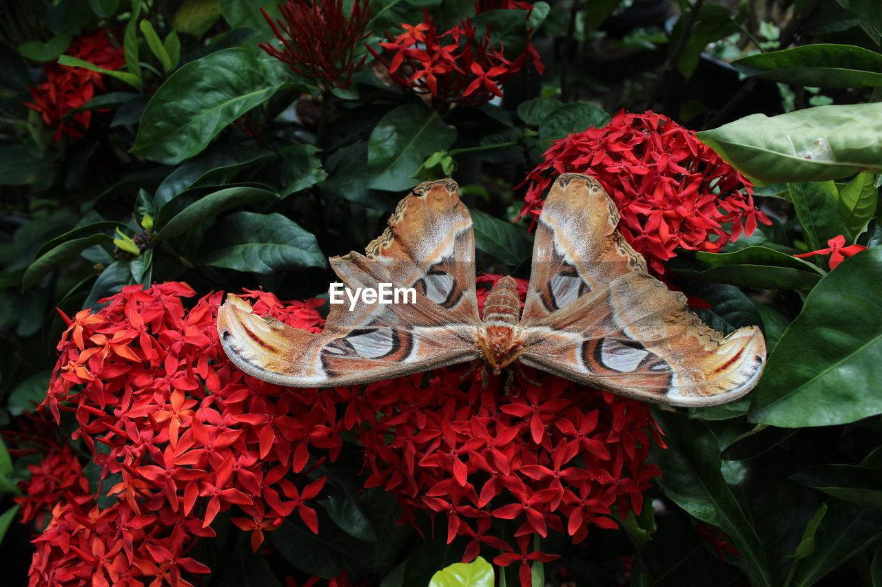 Close-up of moth on ixora at park