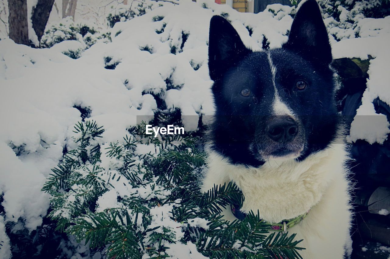 pets, one animal, domestic animals, domestic, dog, canine, animal themes, animal, mammal, vertebrate, snow, cold temperature, portrait, winter, no people, looking at camera, nature, day, field