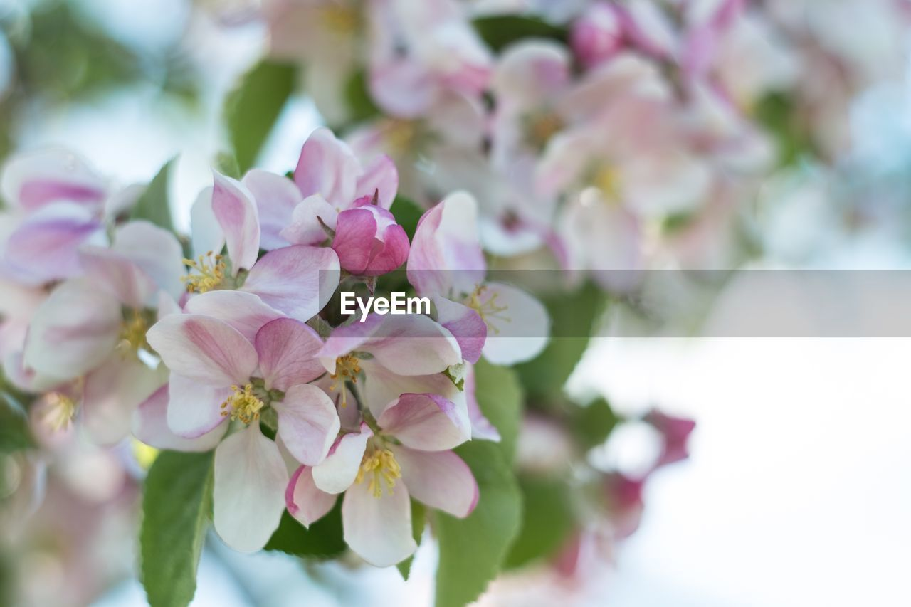 flower, flowering plant, plant, fragility, vulnerability, freshness, beauty in nature, growth, petal, pink color, close-up, inflorescence, nature, no people, flower head, blossom, day, selective focus, tree, springtime, outdoors, pollen, bunch of flowers, cherry tree, cherry blossom
