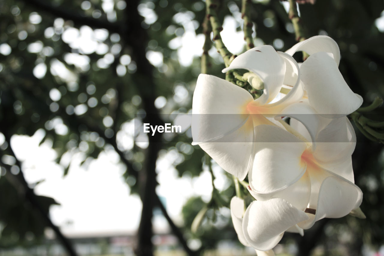 flower, petal, beauty in nature, flower head, fragility, growth, white color, nature, freshness, focus on foreground, blooming, day, close-up, tree, no people, outdoors, springtime, frangipani