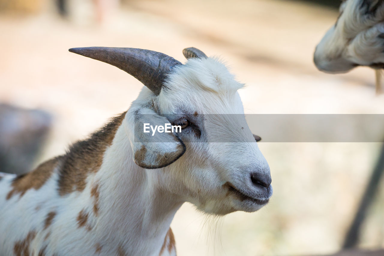 mammal, animal, animal themes, one animal, domestic animals, domestic, pets, focus on foreground, vertebrate, livestock, goat, close-up, day, looking, no people, kid goat, animal head, sunlight, animal body part, white color, herbivorous