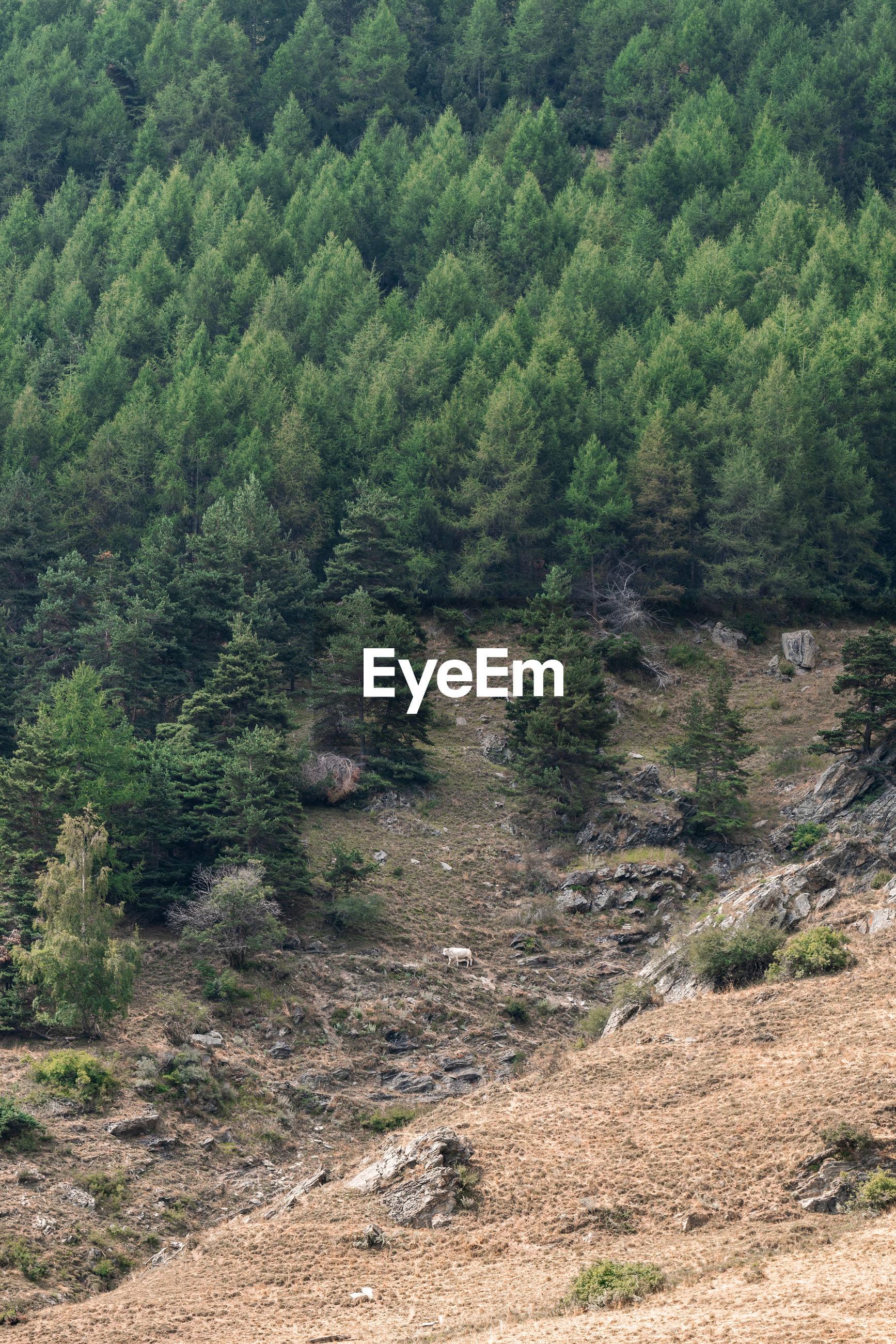 SCENIC VIEW OF PINE TREES