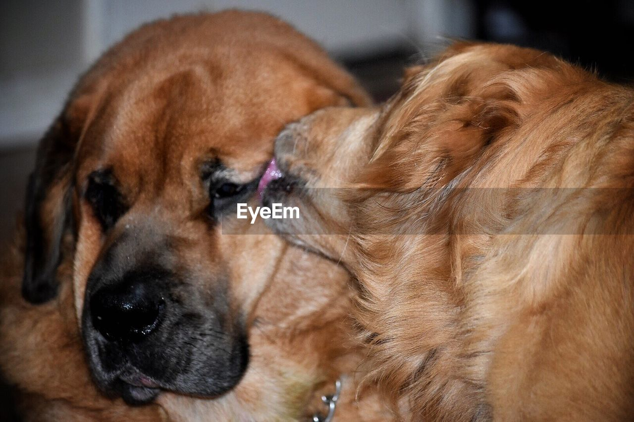 canine, dog, pets, domestic, one animal, domestic animals, animal themes, mammal, animal, brown, vertebrate, close-up, animal head, animal body part, no people, indoors, relaxation, looking, focus on foreground, looking away