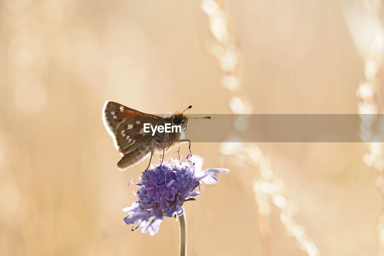 flower, flowering plant, animal wildlife, one animal, animal, animal themes, animals in the wild, plant, insect, fragility, beauty in nature, invertebrate, vulnerability, close-up, freshness, focus on foreground, flower head, petal, no people, growth, animal wing, purple, butterfly - insect, pollination, butterfly