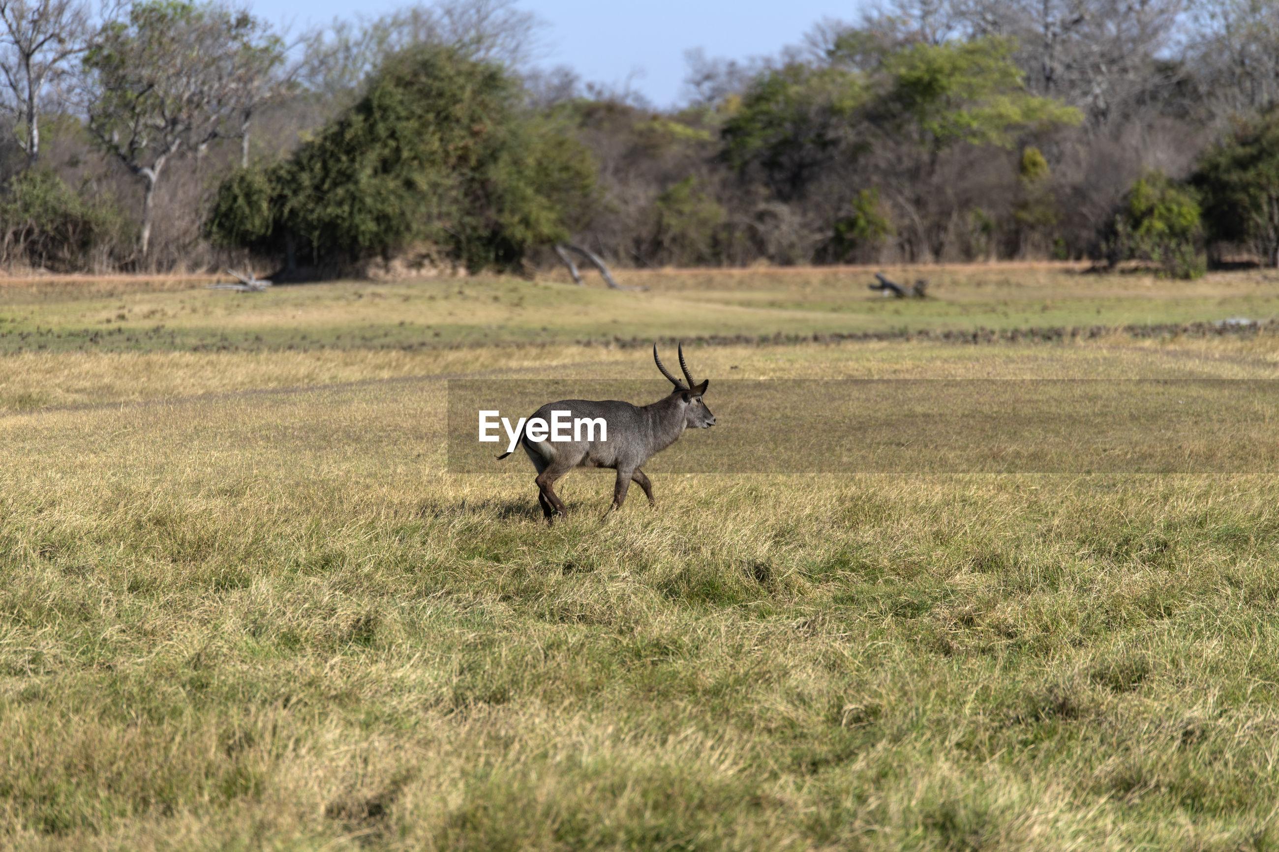 Waterbuck in a field