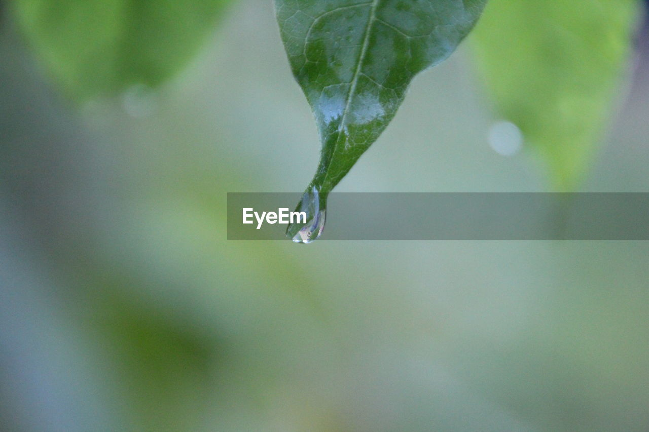 drop, wet, water, plant part, close-up, plant, leaf, growth, nature, beauty in nature, day, focus on foreground, no people, freshness, fragility, green color, selective focus, purity, rain, outdoors, raindrop, dew, rainy season, melting