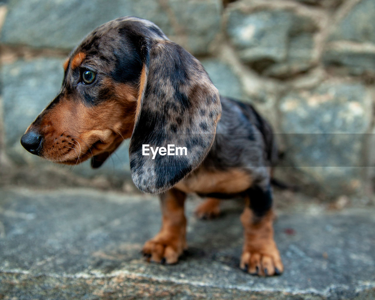 one animal, animal themes, dog, canine, mammal, animal, domestic, domestic animals, pets, looking, looking away, vertebrate, no people, day, solid, dachshund, focus on foreground, rock, rock - object, close-up, animal head